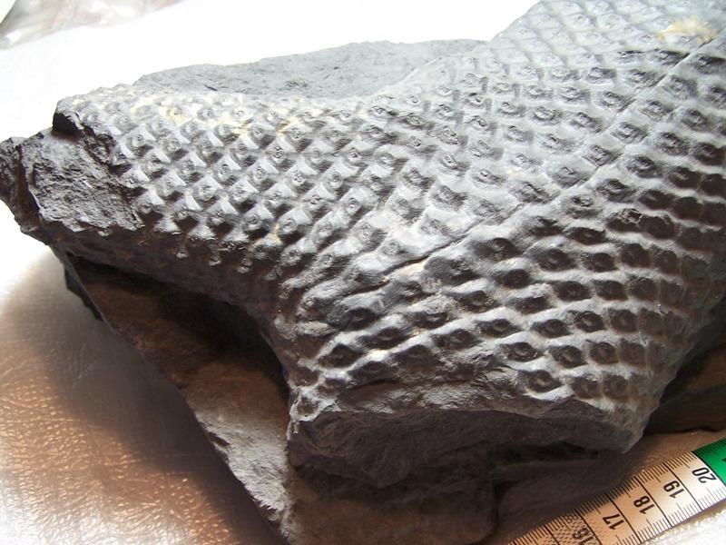Sigillaria et zone d'insertion des sigillariostrobus Fossiles_gr4zey3qc1kbv077g9pn