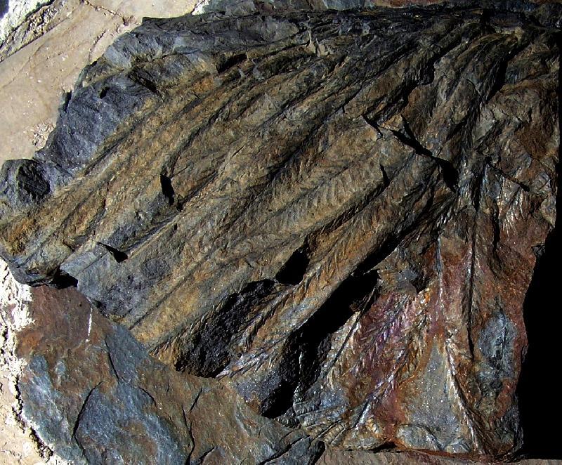 Lepidodendron Sternberg , 1820 .  Fossiles_grtu8ucsw0xr0a7cj6jm