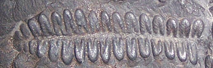 Pecopteris (Brongniart ) , Sternberg 1825. Fossiles_hkmlxz4ecb8t8az0qvfk