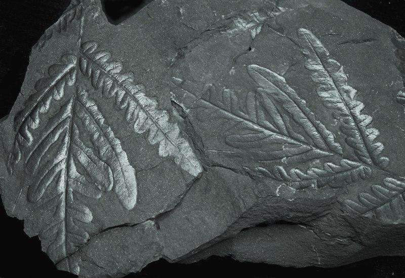 Alethopteris Sternberg 1825. Fossiles_hrmzv308qnzp1cu0n5yw