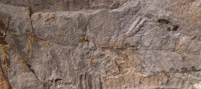 Sphenopteris du Stéphanien B Fossiles_j56r670cnpbtz4u4b2ds