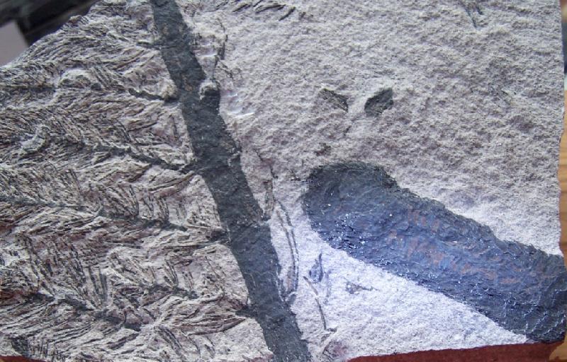 Calamites Schlotheim ,1820.  Annularia sternberg , 1822 .  Fossiles_j9lg3gqmkdfclx5uqssn
