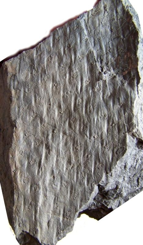 Pinakodendron  Weiss , 1893. Fossiles_jn2clj63bgyfyrfm8ss9
