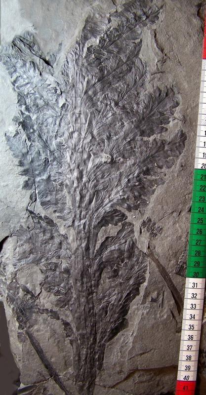 Aphlebia Presl , 1838 . Fossiles_jnba1w9du2matmvxjre5