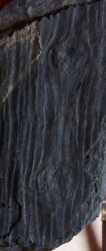 Megaphyton Artis , 1825 . Hagiophyton Corsin ,1948.  Fossiles_jscewd6pth41uzq0bv3y