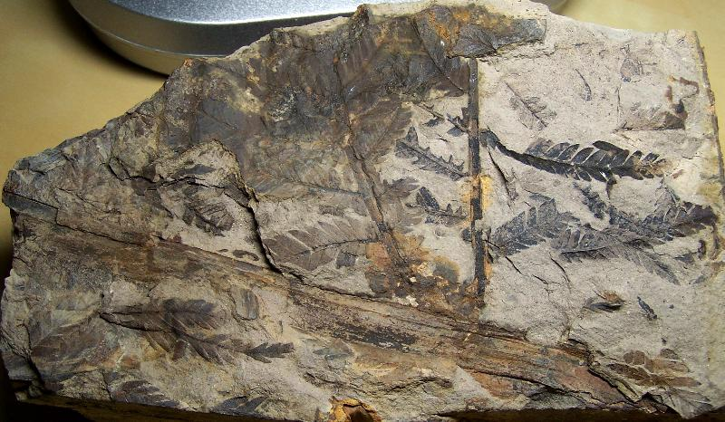 Odontopteris Brongniart , 1825 . Fossiles_k009zcxblqgcljun623h