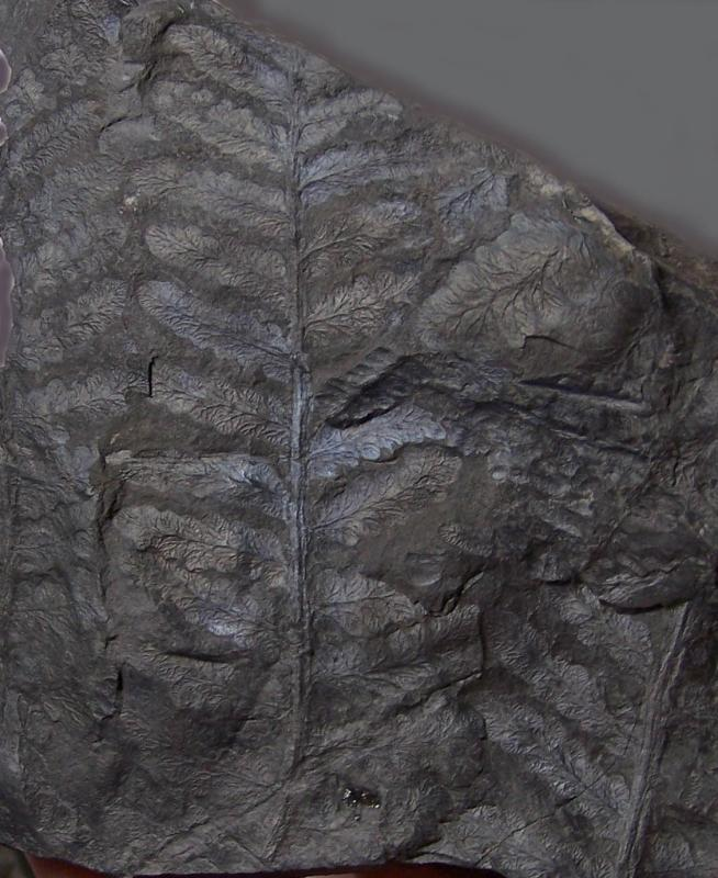 Oligocarpia Goeppert , 1841. Fossiles_l6pnle3fa88b0tdtmenr