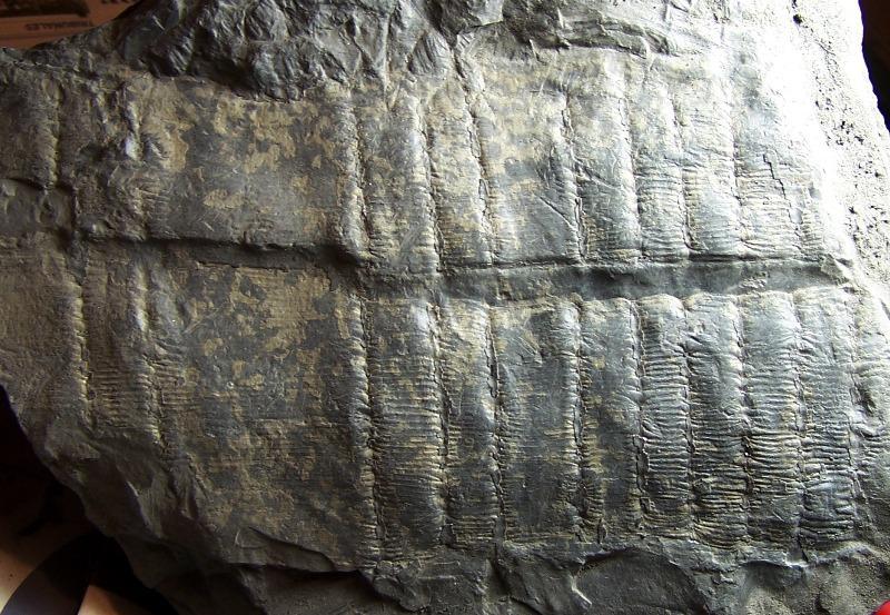 Calamites Schlotheim ,1820.  Annularia sternberg , 1822 .  - Page 3 Fossiles_lcak0plrttery40gzfsj