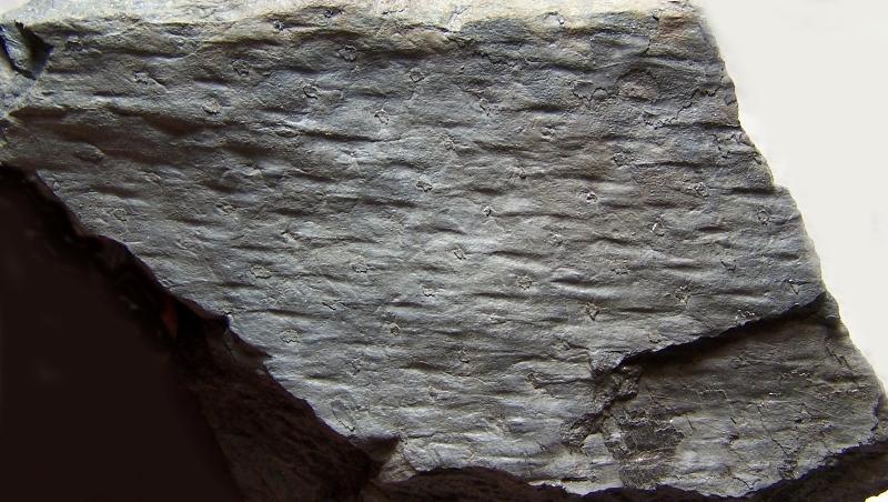 Pinakodendron  Weiss , 1893. Fossiles_lf2zhd42p1bqw67kn3ua