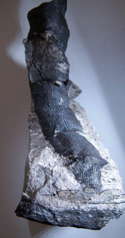 Cordaites Unger , 1850. Fossiles_lhzlrtqcsyzk61un6sg9