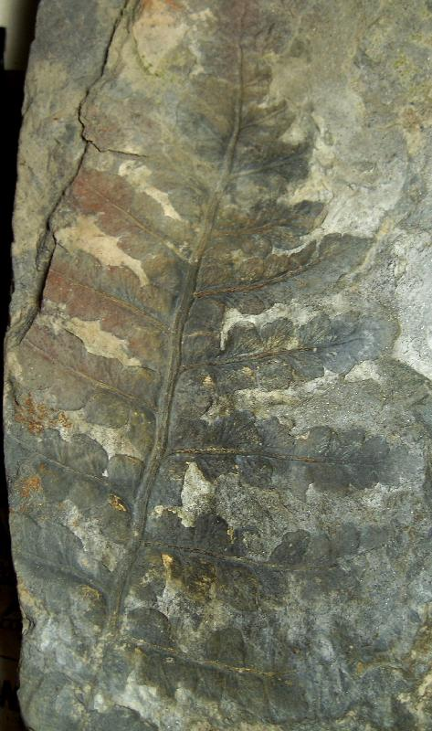 Oligocarpia Goeppert , 1841. Fossiles_lnbjqzh30ufpvznsw115