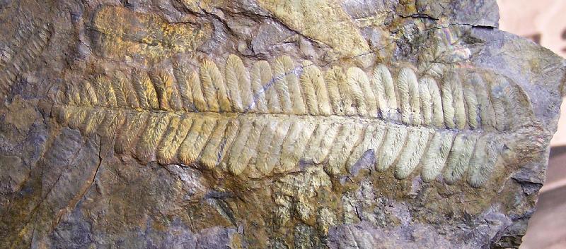 Pecopteris (Brongniart ) , Sternberg 1825. Fossiles_lwa7yd5ub0hs6e39x8ln