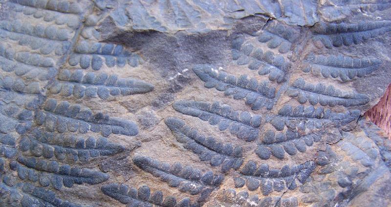 Pecopteris (Brongniart ) , Sternberg 1825. Fossiles_mn9t7hfxa35grlzbt7gs