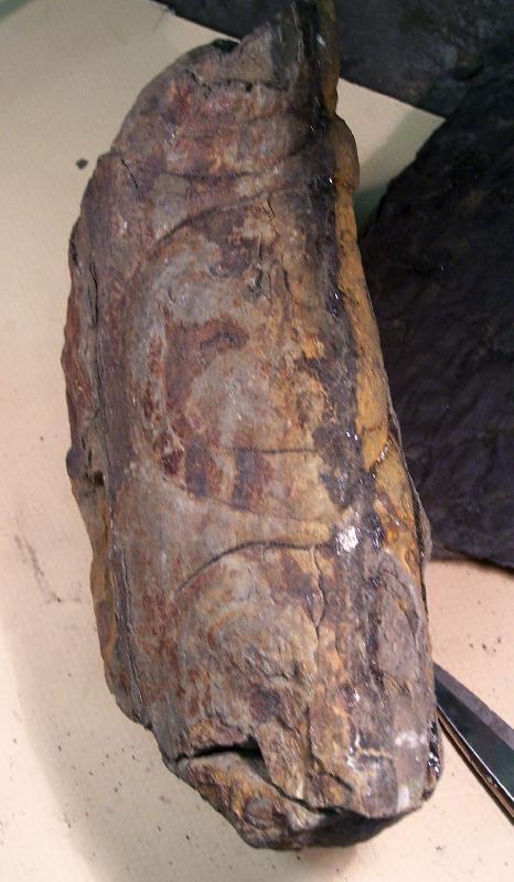 Megaphyton Artis , 1825 . Hagiophyton Corsin ,1948.  Fossiles_mq1gvsnv2s7ydder1u5z