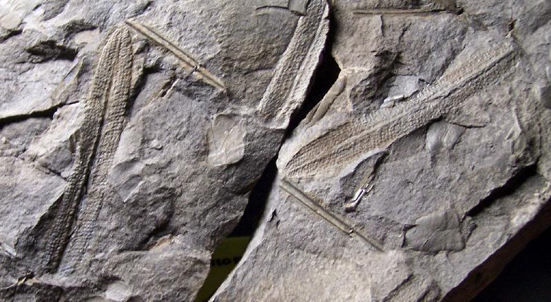 Diplazites  Göeppert , 1836 . Fossiles_mvl647br1znkth65q0et