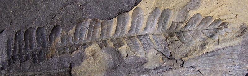 Pecopteris (Brongniart ) , Sternberg 1825. - Page 2 Fossiles_ph0szqubj7fyndhr9kz0