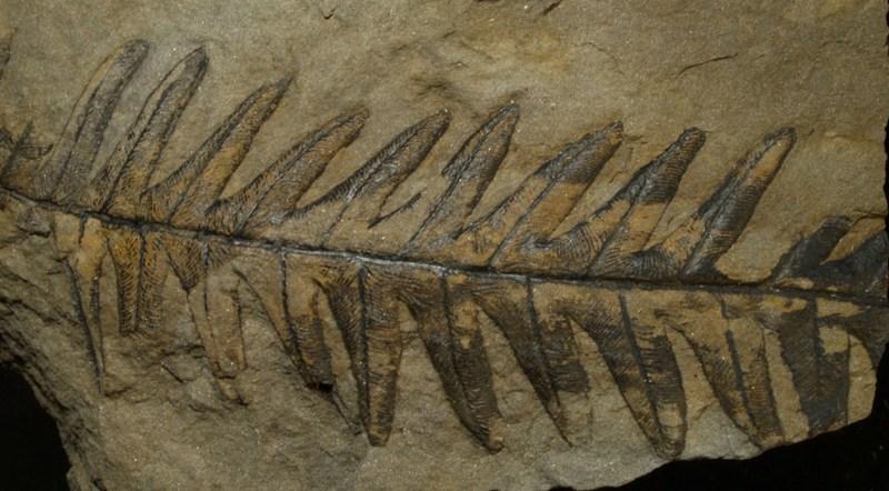 Alethopteris Sternberg 1825. Fossiles_pkgcy3tb05516lr1vsew