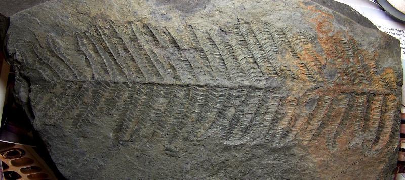 Polymorphopteris polymorpha Fossiles_pvecu4lprr8218ujm30f