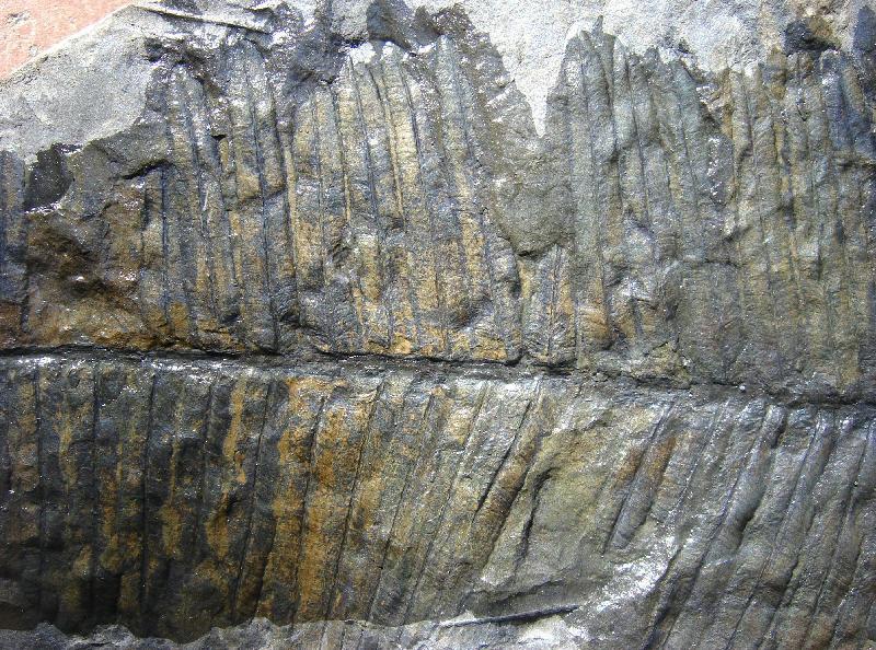 Diplazites  Göeppert , 1836 . Fossiles_pzqr38kc1gf680bx6t3a