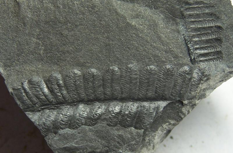 Pecopteris (Brongniart ) , Sternberg 1825. Fossiles_qalelvnmh1jkvxzq8z0f