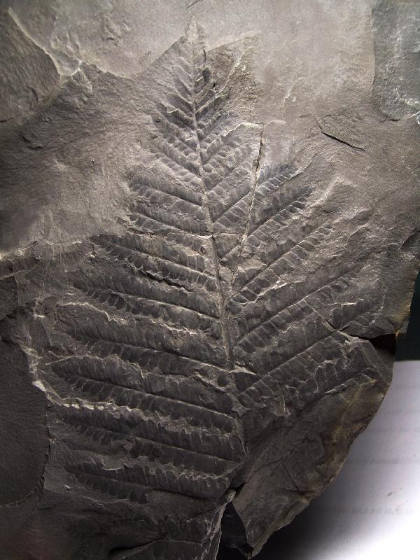 Polymorphopteris polymorpha Fossiles_qp16phlgejsvfu8b0hnk