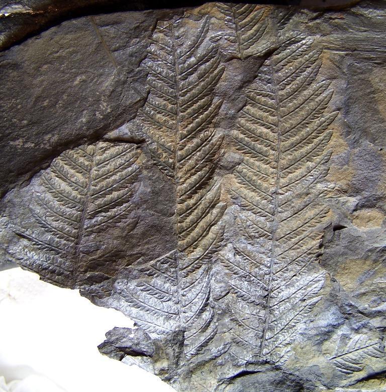 Senftenbergia grunerii Fossiles_rlnz1qb9rgpl76avjhnt
