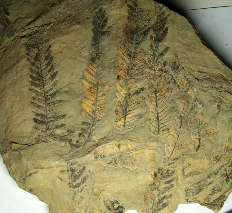 Pecopteris (Brongniart ) , Sternberg 1825. Fossiles_s03q1juw0rndbwpxnflz