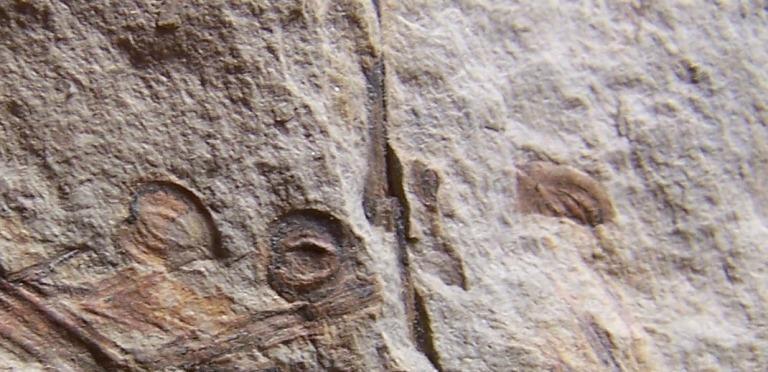 Trigonocarpus  Pachytesta  Hexagonocarpus  Fossiles_sjxgrx795sdbwnd26tz0