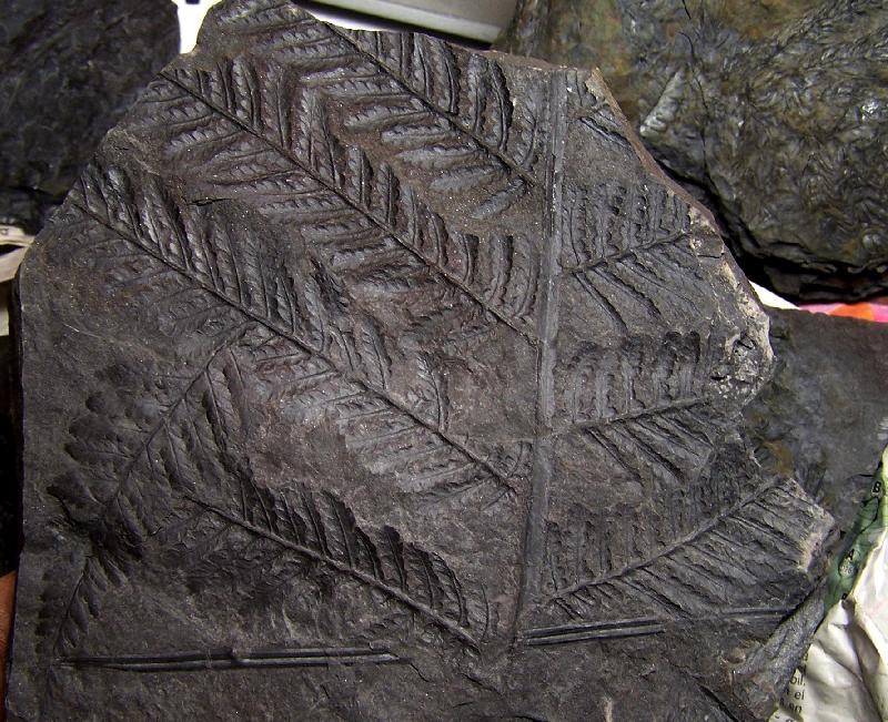 Pecopteris (Brongniart ) , Sternberg 1825. Fossiles_sw1pbq8gceyka0xfdu03