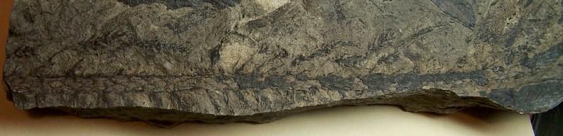 Walchia piniformis Fossiles_tbc63lp5febky1um4sqj
