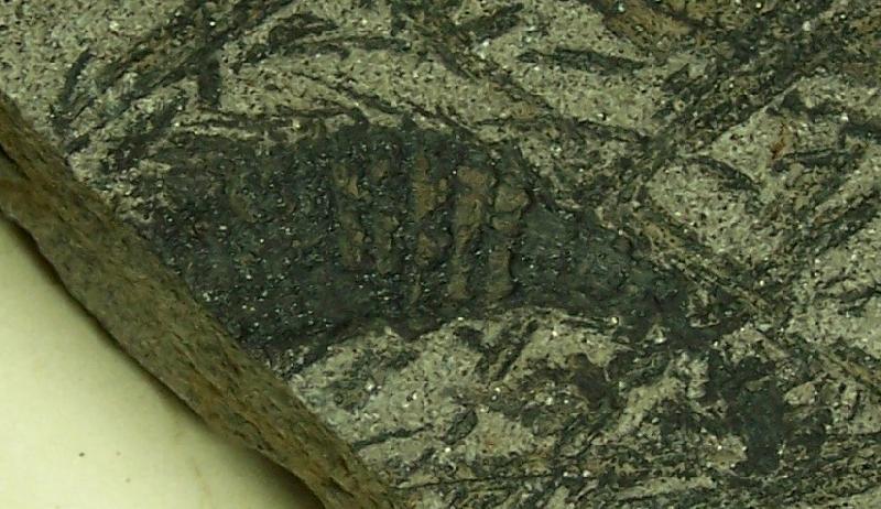 Calamites Schlotheim ,1820.  Annularia sternberg , 1822 .  Fossiles_tey8w9kmlt356gs0eyn1