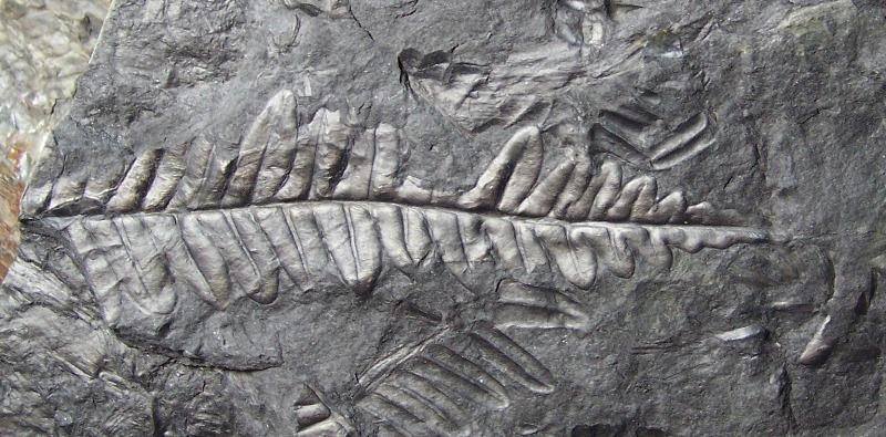 Alethopteris Sternberg 1825. Fossiles_tl7mxgzax01d2hcvbmg3