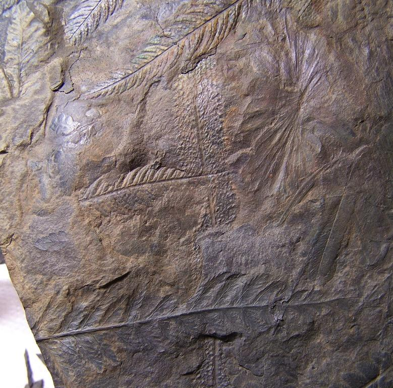 Senftenbergia grunerii Fossiles_tlqkhn7gy91j8k61mw62