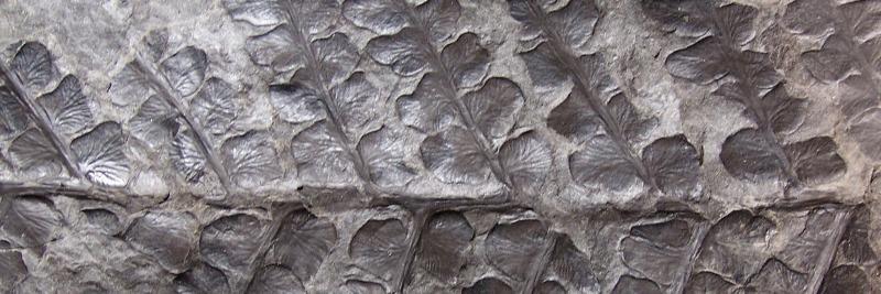 Pseudomariopteris busquetii Fossiles_u96lelyv0y31rah217fr