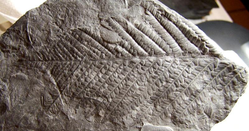 Polymorphopteris polymorpha Fossiles_utn6a9bjwnhsq1xt4eby