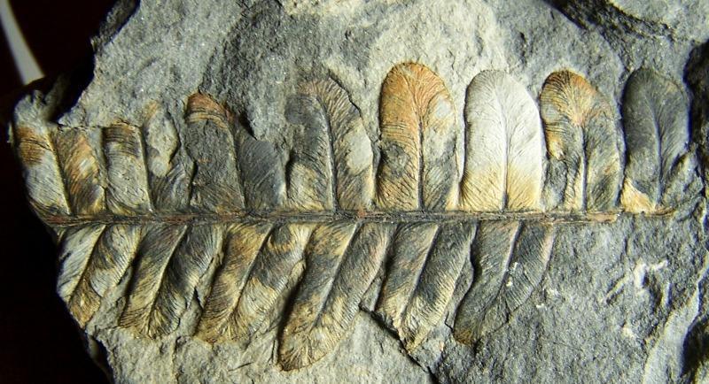 Callipteridium   Weiss , 1870 . Fossiles_uz014y7w1fgcke50dyhn