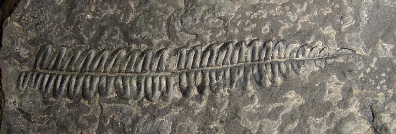 Callipteridium   Weiss , 1870 . Fossiles_vfps4rkr7eqdhg1vpq80