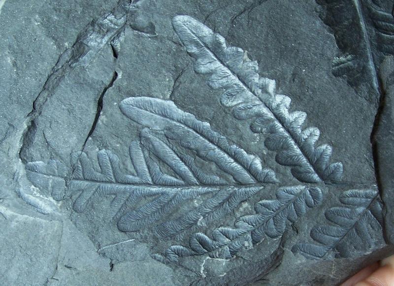 Alethopteris Sternberg 1825. Fossiles_vjrxvgzda5y376mktu89