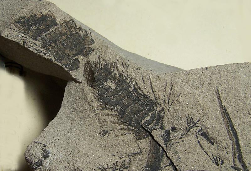 Calamites Schlotheim ,1820.  Annularia sternberg , 1822 .  Fossiles_vlagafm6wxcnne51zr5p