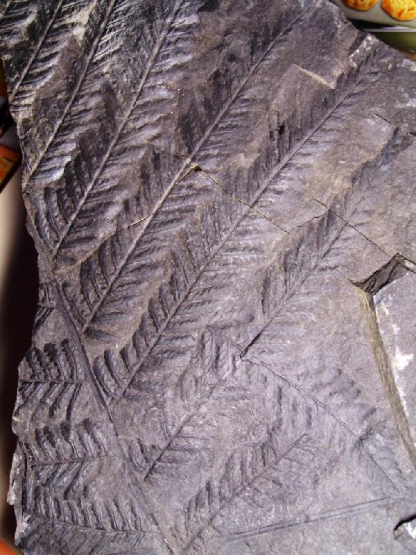 Pecopteris (Brongniart ) , Sternberg 1825. Fossiles_vmlcsyuht265xxdwlwgm