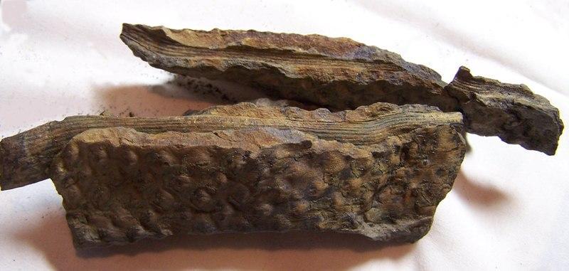 Sigillaria Brongniart ,1822. Syringodendron Sternberg,1820.  - Page 2 Fossiles_vtyu7cmz6v2gje1fwpq9