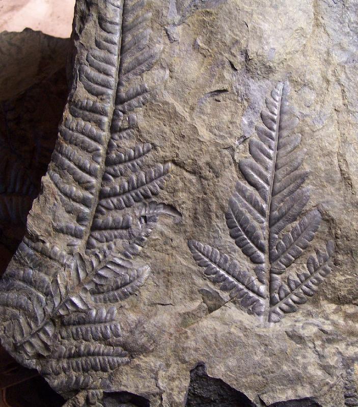 Callipteridium   Weiss , 1870 . Fossiles_vu95wnkzardbtt7c0rd6