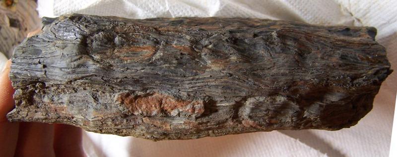 Ptychopteris Corda , 1845 . Fossiles_vubegc31zmmsjgz6e4hn