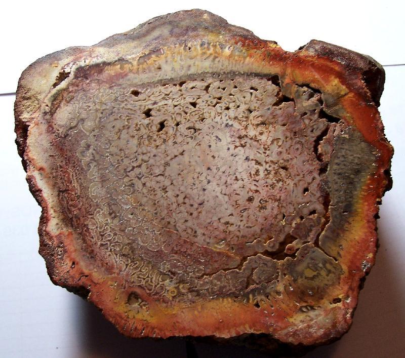 Megaphyton Artis , 1825 . Hagiophyton Corsin ,1948.  Fossiles_w0yvdjbd9ym6c3pqmnhn