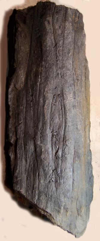 Ptychopteris Corda , 1845 . Fossiles_w61k8e5bfg59sc7rqxnp