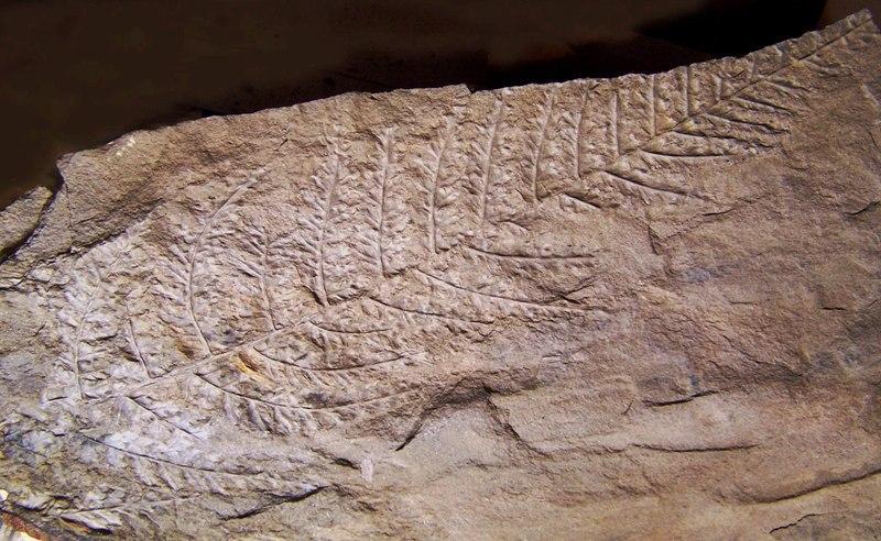Sphenopteris du Stéphanien B Fossiles_wq8fhjn0bttcmnkzfac9