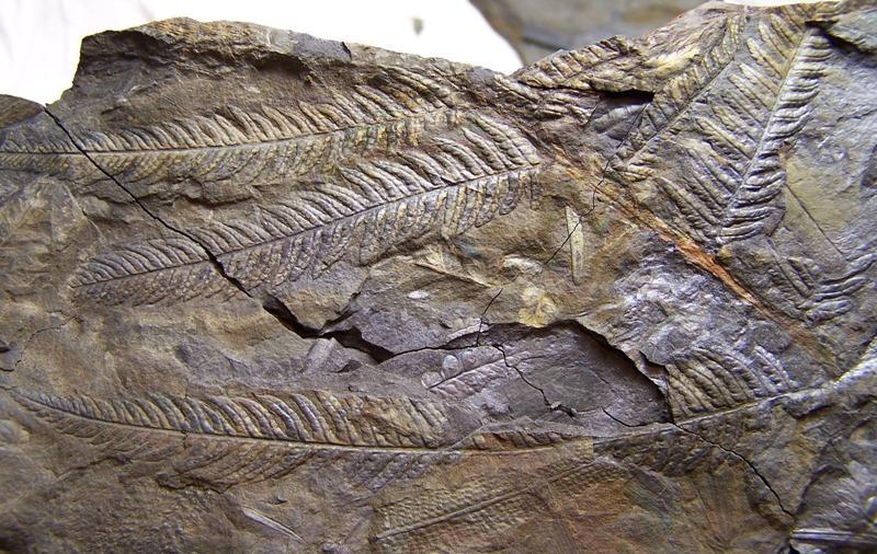 Senftenbergia grunerii Fossiles_wqlznv0ttpa48elna6xz
