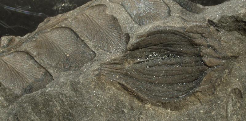 Trigonocarpus  Pachytesta  Hexagonocarpus  Fossiles_wvcc96gn5qbmrkhxjx0u