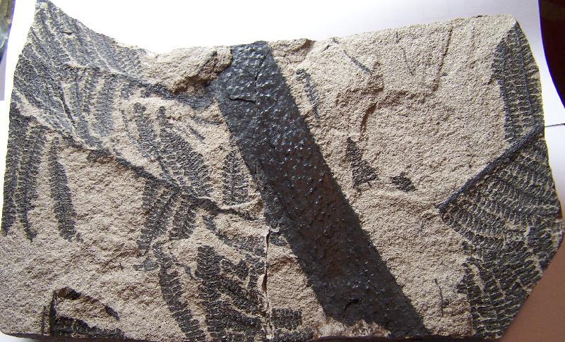 Pecopteris (Brongniart ) , Sternberg 1825. Fossiles_x0a2fzk12x8ldseqt0d5