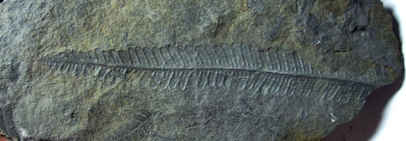 Pecopteris (Brongniart ) , Sternberg 1825. Fossiles_x6fxzg01ftb35eqzjk7e